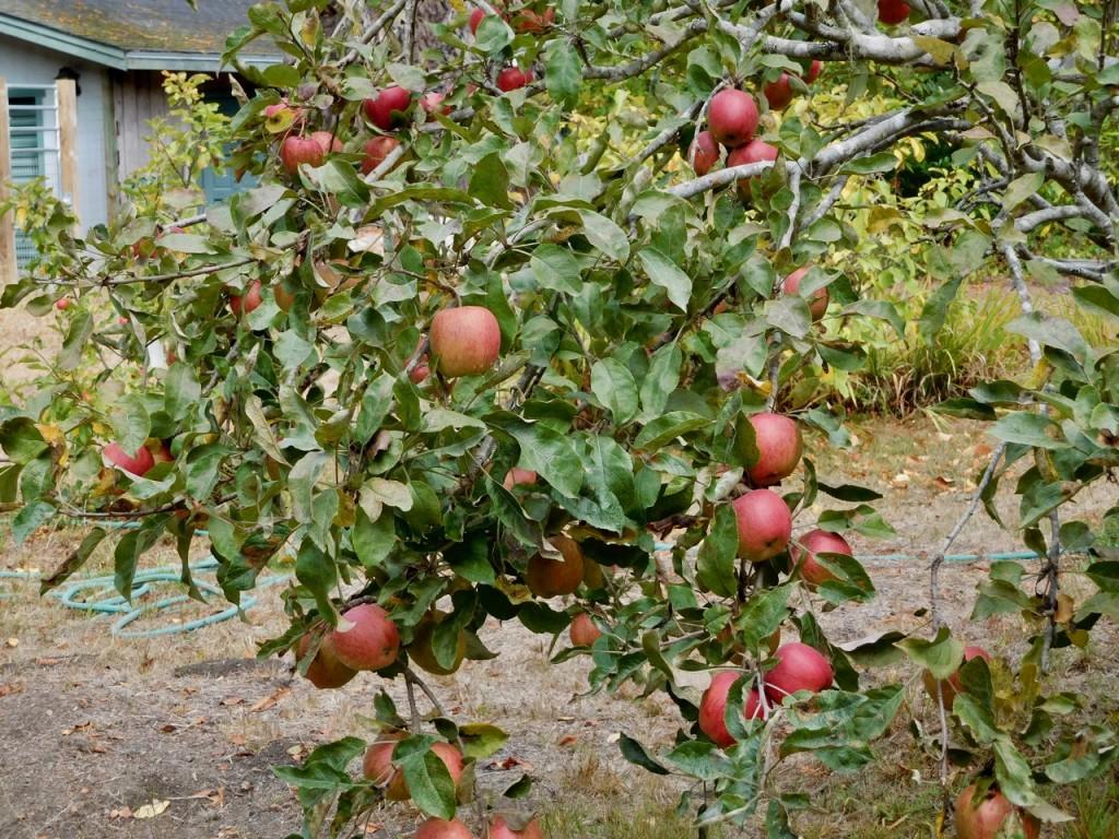 closer apples