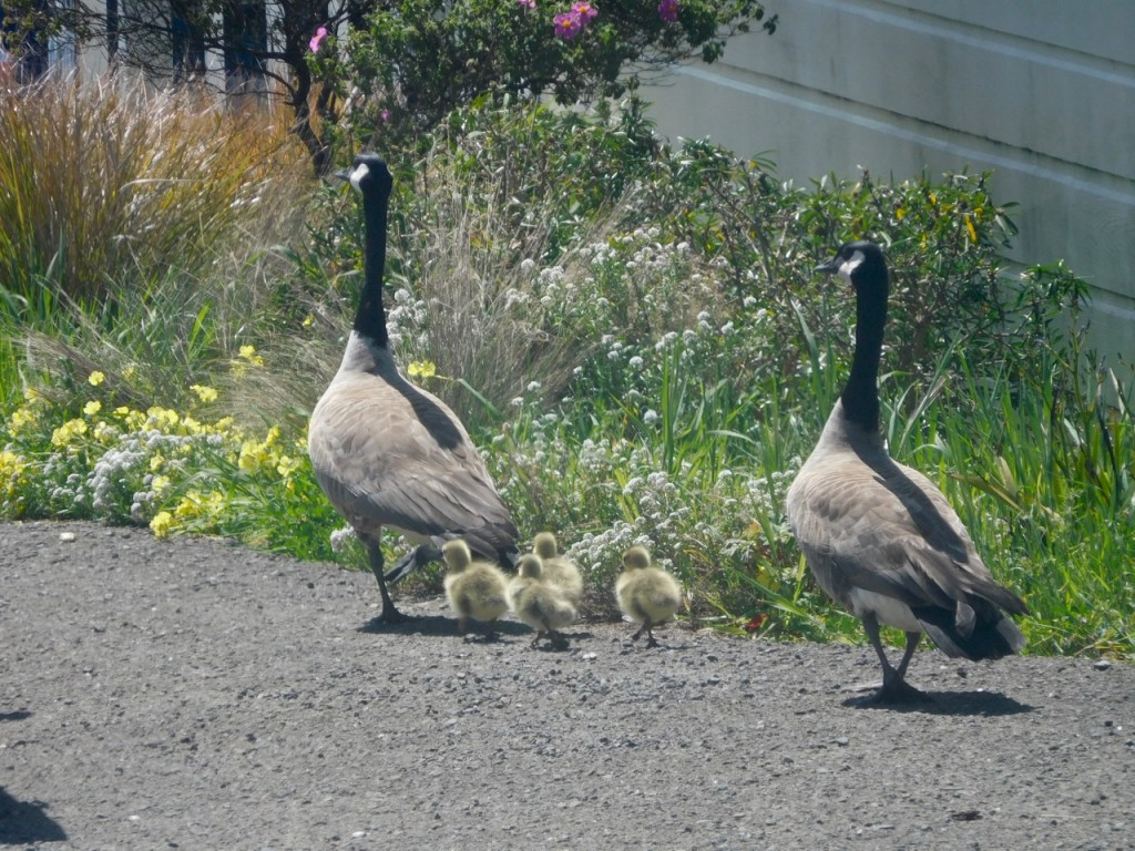 the geese family part 2