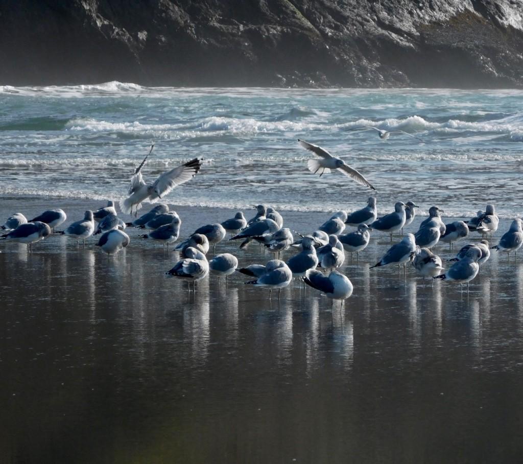 big river gulls